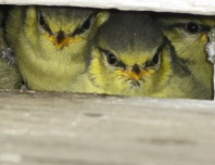 Blue Tit chicks