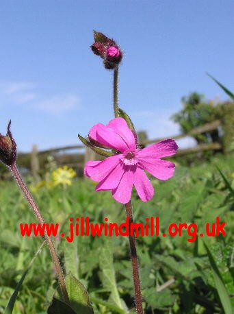 Jill Windmill, Clayton : Red Campion